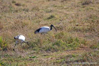 Sacred Ibis, Ngorongoro Crater Tanzania, 1/02/09
