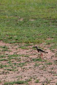 Crowned Plover or Crowned Lapwing, Serengeti Nat. Pk. Tanzania, 1/05/09