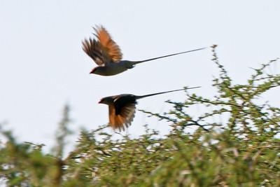 Speckled Mousebird, Lake Manyara Nat. Pk. Tanzania, 1/01/09
