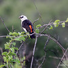 White-headed Buffalo-Weaver, Ruaha Nat. Pk. Tanzania, 1/10/09