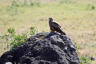 Yellow-billed Kite, Ngorongoro Crater Tanzania, 1/02/09