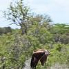Tawny Eagle, Selous Game Reserve Tanzania, 1/07/09