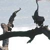 Grey Heron, Ruaha Nat. Pk. Tanzania, 1/11/09
