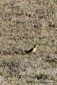 Immature Yellow-throated Longclaw, Ngorongoro Crater Tanzania, 1/02/09