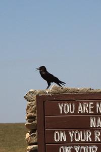 Cape Rook, Serengeti Nat. Pk. Tanzania, 1/03/09