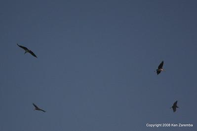 Marabou Storks in flight, Serengeti Nat. Pk. Tanzania, 1/05/09