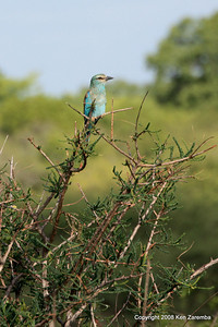 European Roller, Ruaha Nat. Pk. Tanzania, 1/11/09