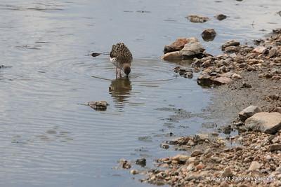 Yellow-billed Duck, Serengeti Nat. Pk. Tanzania, 1/03/09