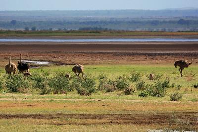 Common Ostrich, Lake Manyara Nat. Pk. Tanzania, 1/01/09