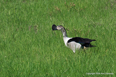 Knob-billed Duck, Ruaha Nat. Pk. Tanzania, 1/10/09