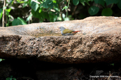 Green-winged Pytilia (female), Serengeti nat. Pk. Tanzania, 1/05/09