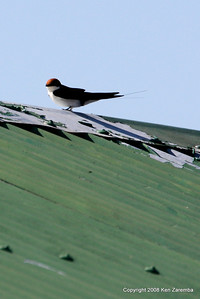 Wire-tailed Swallow, Grumeti Airstrip - Serengeti Nat. Pk. Tanzania, 1/06/09