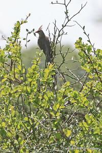 Blue-naped Mousebird, Ruaha Nat. Pk. Tanzania, 1/10/09