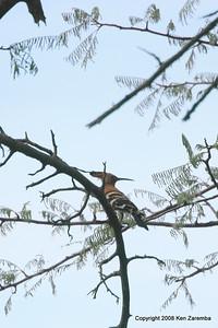 African Hoopoe, Ruaha Nat. Pk. Tanzania, 1/10/09