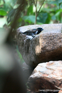 Bronza mannikin, Serengeti Nat. Pk. Tanzania, 1/05/09