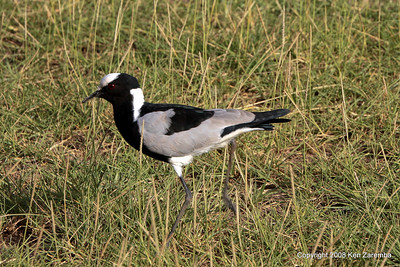 Blacksmith Lapwing (aka:Blacksmith Plover), Lake Manyara Nat. Pk. Tanzania 12/31/08