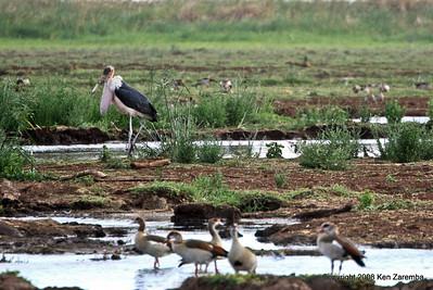 Marabou Stork , Lake Manyara Nat. Pk. Tanzania 12/31/08