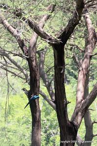 Green Wood-hoopoe , Ruaha Nat. Pk. Tanzania, 1/10/09