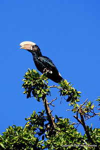 Silver-cheeked Hornbill, Serena Mtn. Village outside Arusha Tanzania, 12/31/2008