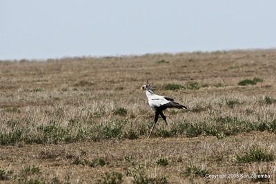 Secretary Bird, Serengeti Nat. Pk. Tanzania, 1/03/09