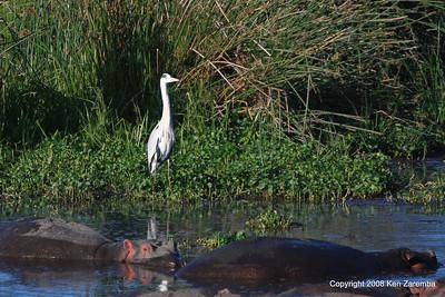 Grey Heron & Hippopotamus, Ngorongoro Crater Tanzania, 1/02/09
