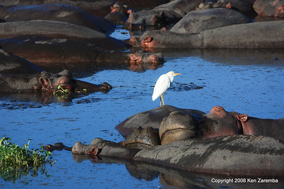 Cattle Egret & Hippopotamus, Ngorongoro Crater Tanzania, 1/02/09