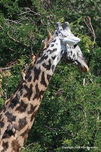 Yellow-billed Oxpeckers on a Masai Giraffe, Serengeti Nat. Pk. Tanzania, 1/05/09