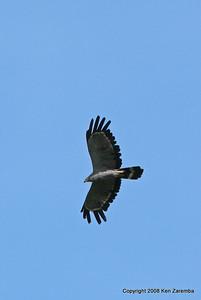 African Harrier-Hawk, Ruaha Nat. Pk. Tanzania, 1/10/09