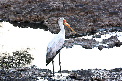 Yellow-billed Stork, Serengeti Nat. Pk Tanzania, 1/05/09