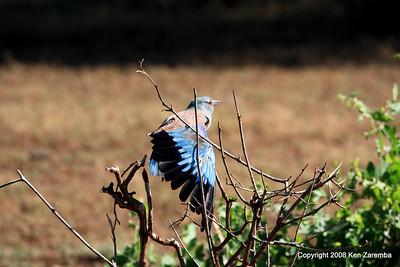 European Roller, Lake Manyara Nat. Pk. Tanzania, 1/01/09
