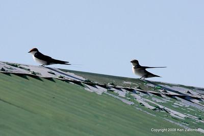 Wire-tailed Swallows, Grumeti Airstrip - Serengeti Nat. Pk. Tanzania, 1/06/09
