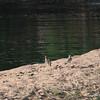 Water Thick-knee, Ruaha Nat. Pk. Tanzania, 1/11/09