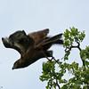 Brown Snake-Eagle, Ruaha Nat. Pk. Tanzania, 1/10/09