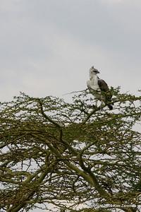 Immature Martial  Eagle, serengeti Nat. Pk. Tanzania, 1/03/09