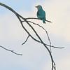 Woodland Kingfisher, Ruaha Nat. Pk. Tanzania, 1/11/09