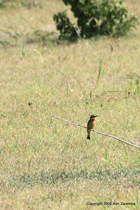 Little bee-eater, Ruaha Nat. Pk. Tanzania, 1/10/09