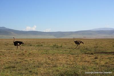 Common Ostrich pair, Ngorongoro Crater Tanzania, 1/02/09