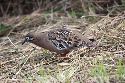 Galapagos Dove, Isla Santa Cruz 11/05/08