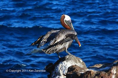 Brown Pelican, North Seymour Island 11/01/08