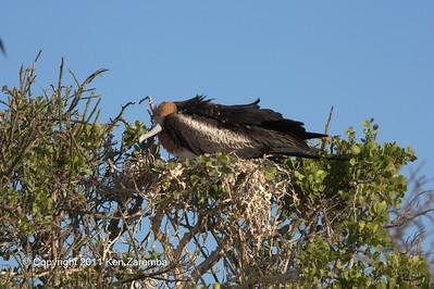 Juvenile Great Frigatebird, North Seymour Island 11/01/08