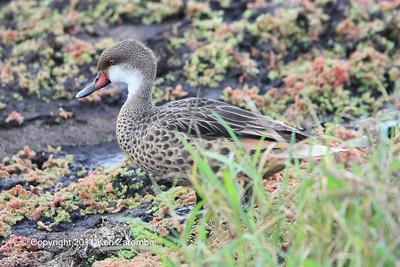 White-cheeked (Galapagos) Pintail, Isla Santa Cruz 11/05/08