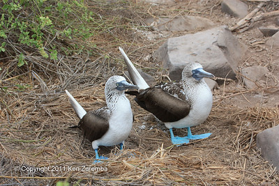 Mated pair of Blue-footed Boobies on isla Espanola 11/02/08