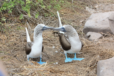 Male and female Blue-footed Boobies, look in their eyes to tell them apart (large pupil is female) 11/02/08