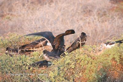 Mating Magnificent Frigatebirds, North Seymour Island 11/01/08