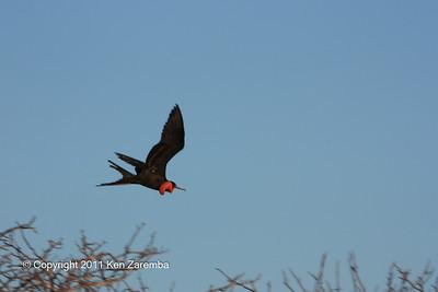 Male Magnificent or Great Frigatebird, North Seymour Island 11/01/08