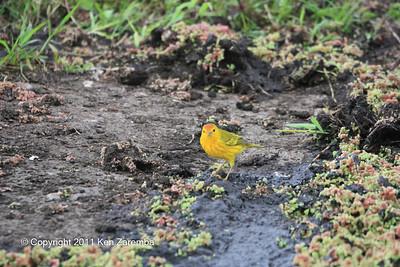 Yellow Warbler, Isla Santa Cruz 11/05/08