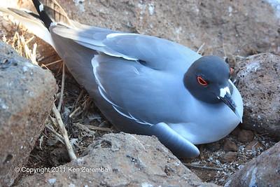 Swallow-tailed Gull, North Seymour Island 11/01/08