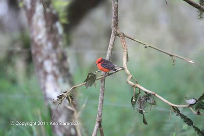 Vermilion Flycatcher, Isla Santa Cruz 11/05/08