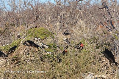 Magnificent Frigatebird rookery on North Seymour Island 11/01/08