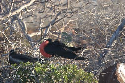 Nesting pair, Magnificent Frigatebirds, North Seymour Island 11/01/08